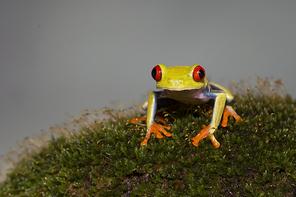 Rotaugenlaubfrosch - Gaudy-Leaf Frog