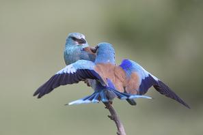 Blauracke