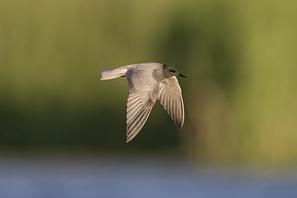Schnepfen/Raubmöwen/Möwen/Seeschwalben/Alken