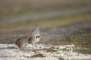 Hühnervögel