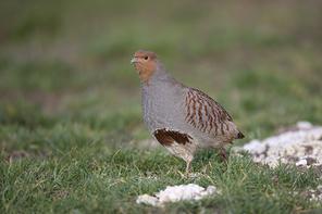 Glattfusshühner