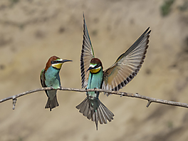 Segler/Rakenvögel