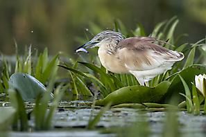 Schreitvögel