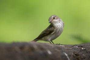Fliegenschnäpper