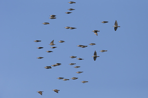 Starenvögel